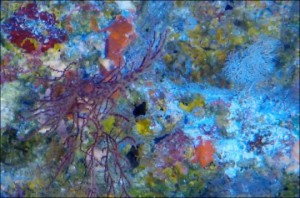 Sponges, corals, tunicates, and other invertebrate animals create a kaleidoscope of color on Asor wall.