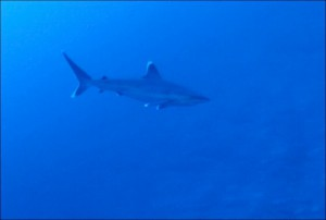 A 2-meter silvertip shark comes in for closer look at our ROV at a depth of 95 m (300 feet).